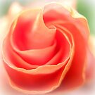 Soft Rose Petals by Vanessa Barklay