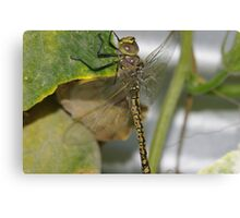 The dragon fly Canvas Print