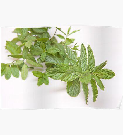 fresh mint on white(Mentha) Poster