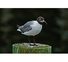 Seagull on a Piling Photographic Print