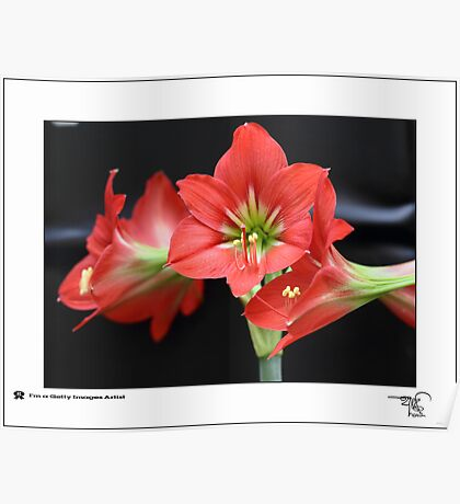 Floral Lilly _ Red  Poster