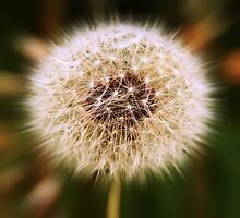Dandelion Explosion by Harry Purves