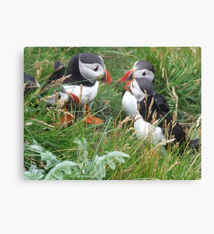 Puffins having a yap Canvas Print
