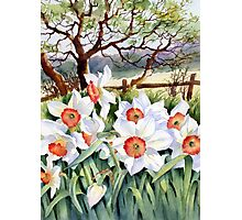 Narcissi in a field Photographic Print