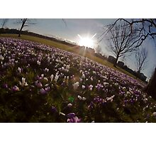 Crocus sunset Photographic Print