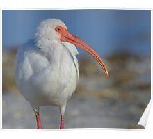 White Ibis in Profile Poster