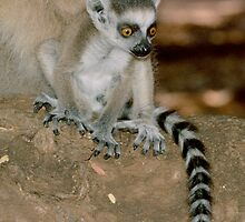 Baby lemur by Anthony Brewer