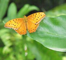 Male Cruiser Butterfly by Kymbo