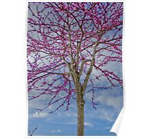 red bud tree in bloom Poster
