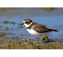Semi-palmated Plover Photographic Print