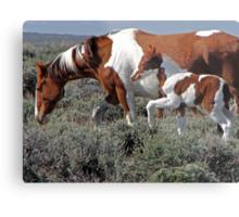 Wild Pinto Foal, Red Desert, Wyoming Metal Print