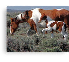 Wild Pinto Foal, Red Desert, Wyoming Canvas Print