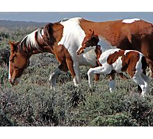 Wild Pinto Foal, Red Desert, Wyoming Photographic Print