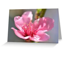 Pink peach blossom in macro Greeting Card
