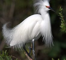 Snowy Egret Show Off 1 by Steve Leach