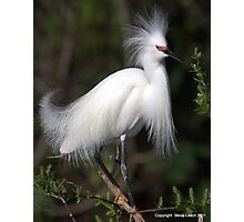 Snowy Egret Show Off 1 Photographic Print