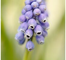 Grape Hyacinth by AlysonArtShop