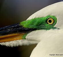 Great White Egret 1 by Steve Leach