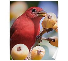 Summer Tanager 1 Poster