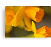 Daffodils for my baby Canvas Print