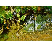 Quercus ilex . Corfu . Greece . by Brown Sugar . Views (103) thank you ! Photographic Print