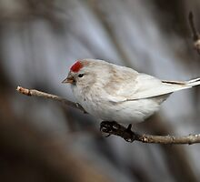 Red Hat / Leucisitc Redpoll by Gary Fairhead