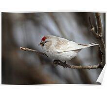 Red Hat / Leucisitc Redpoll Poster