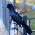 Male Boat-Tailed Grackle by RebeccaBlackman