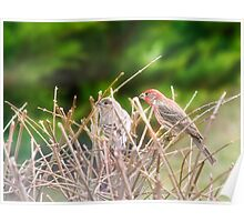 House Finches Poster