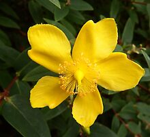 Hypericum flower by DEB VINCENT