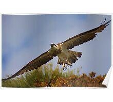 Osprey - Gracetown WA Poster