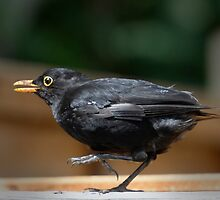 Fledging blackbird by nadine henley