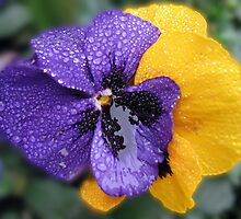 Dancing in the Rain - Pansies with Raindrops by BlueMoonRose