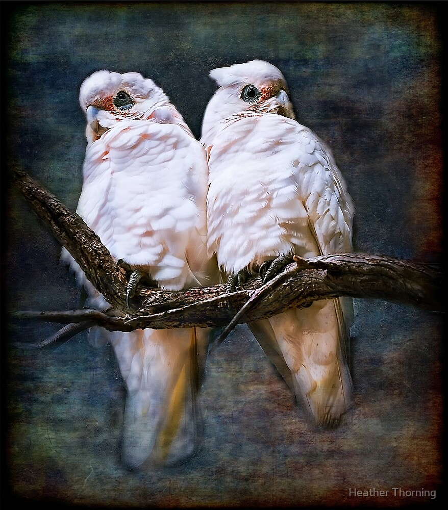 """""""Corellas In Love"""" by Heather Thorning"""