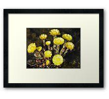 Spring in the dunes (Tussilago farfara) Framed Print