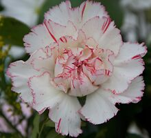 White and Red Carnation by squonk1666