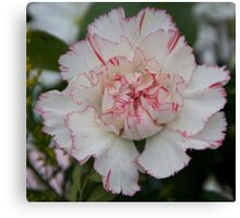 White and Red Carnation Canvas Print