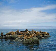 Sea Lions - Valdes Peninsula - Argentina by Craig Baron