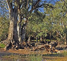 Flinders Ranges River Gums by Terry Everson