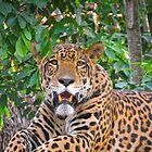 Jaguar  by Craig Baron