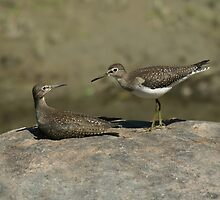 """Are you looking at me?"" - Solitary Sandpipers, Ottawa, Ontario by Stephen Stephen"