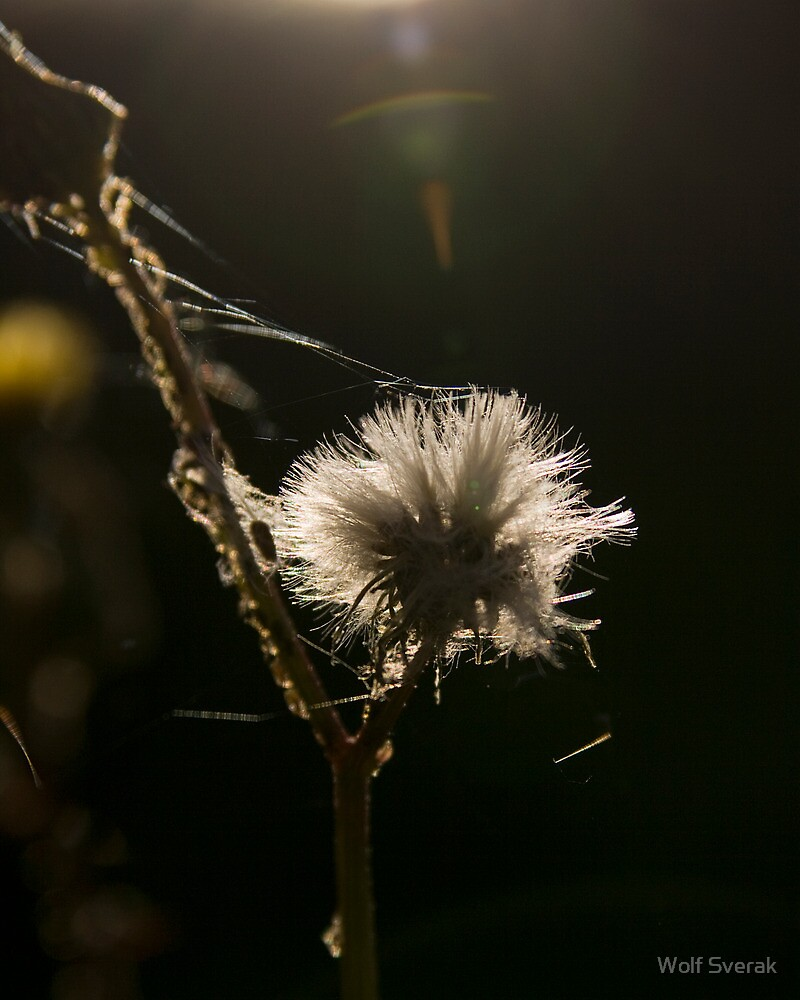 White and fluffy by Wolf Sverak