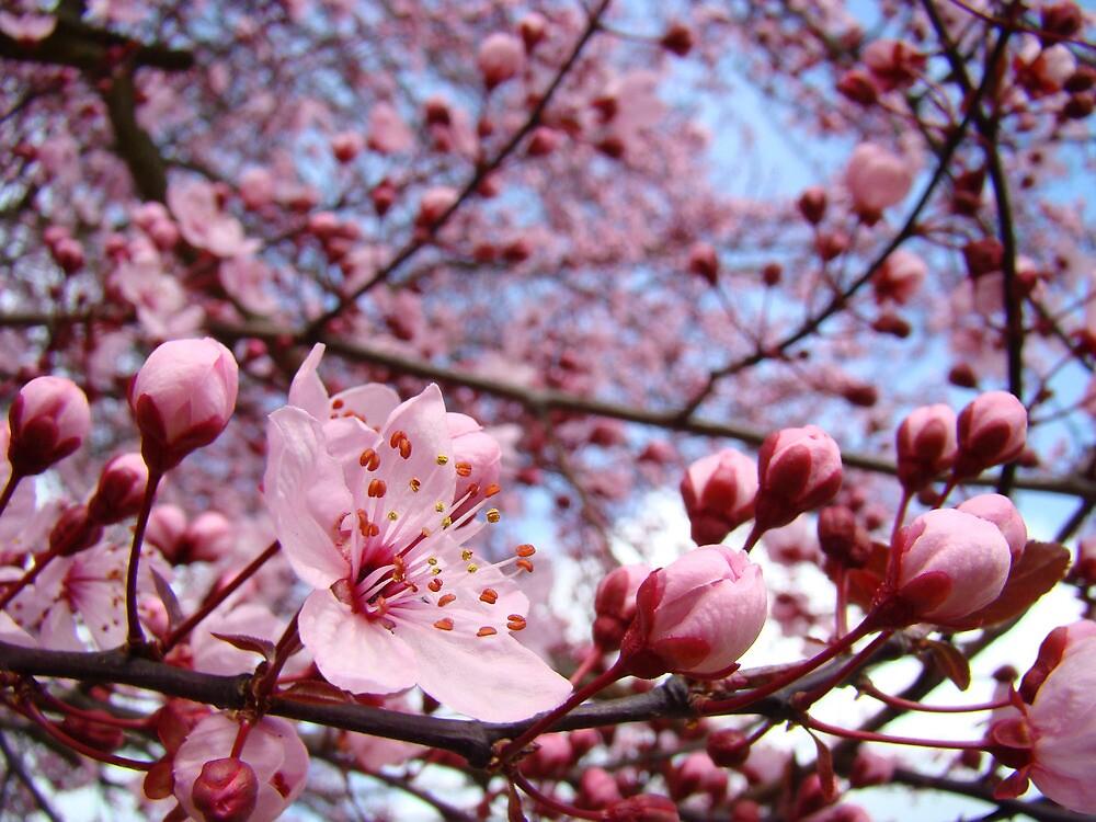 Spring Trees Landscape Pink Blossoms Blue Sky by BasleeArtPrints