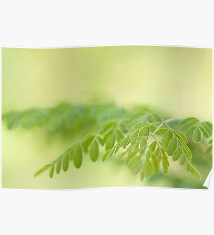 macro shot of moringa leaves(moringa oleifera) Poster