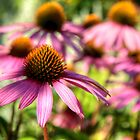 Echinacea  by Roxane Bay