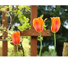 Spring Garden Tulips Grapevine Trellis art prints Baslee Troutman Photographic Print