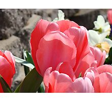 Tulips Flower Garden Spring Floral art Baslee Troutman Photographic Print