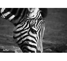 Zebra II Photographic Print