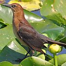 Female cowbird in the lilies by jozi1