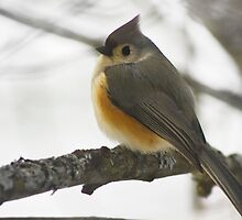 Tufted Titmouse by Megan Noble